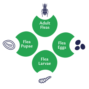 Flea Life Cycle | Bob Martin